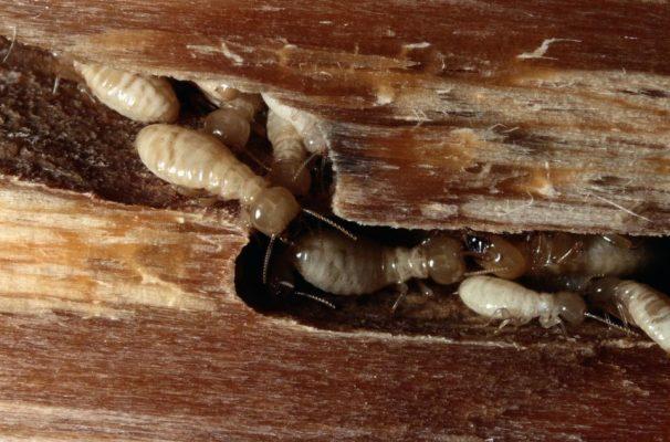 Cách diệt mối trong tường nhà hiệu quả đối với mối gỗ