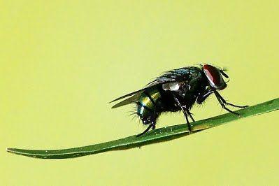 thuốc diệt ruồi